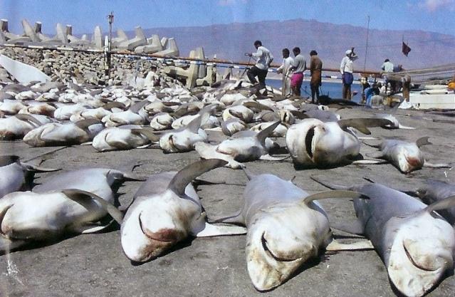 Самое же большое нападение акул зафиксировано в 1945 году американский